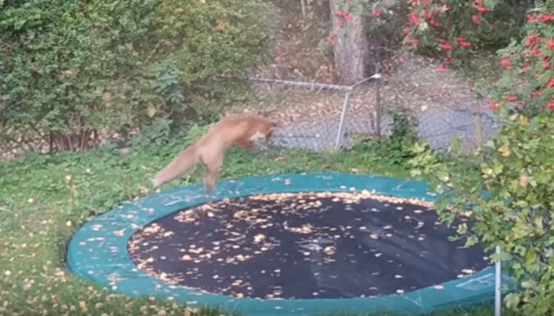 A nő kinézett az ablakon, és elakadt a lélegzete: a kerti trambulinon egy róka ugrándozott