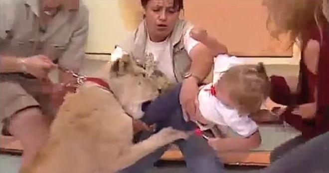 Félelmetes! Egy élő TV show-ban támadt egy kislányra az oroszlán!